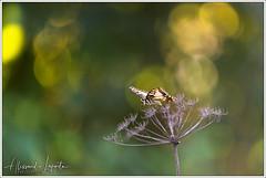 Papilio machaon (Linnaeus, 1758) (Alessandro Laporta Photographer) Tags: papiliomachaonlinnaeus 1758 alessandrolaporta laportaalessandro laporta fotocesco alessandrolaportaphotographer alessandrolaportaphotography