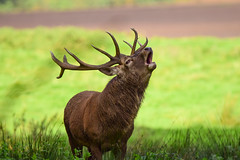 Red Deer Stag (Terry Angus) Tags: deer reddeer stag rut