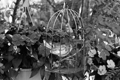 Caged Tin Bird (Helios 1984) Tags: agfarodinal agfarondinax rondinax35u rodinaldeveloper ilfordrapidfixer daylightloadingfilmdevelopingtank asahipentaxspotmatic spotmatic spotmaticii konicaminoltadimageiv dimageivscanner minoltascanner dimageiv ilfordfilm ilforddelta100 35mmcamera filmcamera supertakumar55mmf18 55mm supertakumar asahioptical asahipentax pentax pentaxhoneywell takumar m42 vintagelens manuallens backyarddecoration backyard