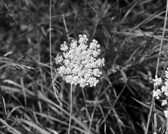 Queen Anne's Lace with Insect (pmvarsa) Tags: august summer 2017 analog film ilford fp4 ilfordfp4 120 mediumformat mf mamiya rb67 pros classic camera nikonsupercoolscan9000ed nikon coolscan outside cans2s waterloo ontario canada nature greenspace insect 127mm