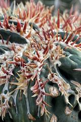 Homalocephala texensis cv. Anayami Monstr (pazzapped) Tags: homalocephala echinocactus texana texensis cactus mutation spines monstrose monstrosity fasciate fasciation anayami monstr monstrosa japan cultivar