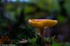 Mushroom with 50mm 1.4 (Sony_Fan) Tags: 50mm 14 minolta bokeh thomas umbach flickr 2017 mushroom autumn forest wet sony sonyfan alpha 77v germany nrw northrhinewestphalia nature naturfotografie natural light internationalflickrawards obsession