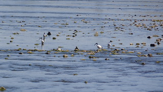 African Sacred Ibis in the Rapids
