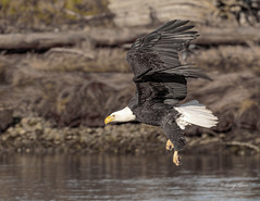 Bald Eagle (Photos_By George) Tags: eagles raptors water bird