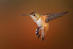 Rufous Hummingbird (Eric Gofreed) Tags: arizona hummingbird mybackyard rufoushummingbird sedona villageofoakcreek yavapaicounty