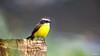 Social Flycatcher (Stefan Heyne) Tags: socialflycatcher myiozetetessimilis rotscheitelmaskentyrann costarica bird