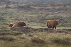 Schotse Hooglanders op Texel (Rob Kints (Robk1964)) Tags: decocksdorp dunes sanddunes slufter strand texel thenetherlands vuurtoren