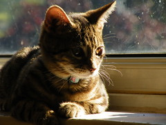 Tribblini (rospix+) Tags: rospix 2017 september wales uk cat animal tabby tabbycat kitten windowsill light tribble