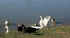 enjoying autumn sun (sunday chatting with friends, ahaha)! (LaDani74) Tags: autumn lake montelleri vicchio tuscany grass sunny goose duck water canoneos760d sigma1750 mugello