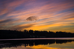 crows at down (Stefano Rugolo) Tags: stefanorugolo pentax k5 smcpentaxda1855mmf3556alwr sunset down crows silhouettes lake water lakeside sky colors reflections atmosphere hälsingland sverige sweden kväll solnedgång stämning red landscape forest tree wood skyline dusk