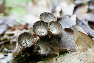 Uurrepesäsieni - Cyathus striatus -  Fluted bird's nest fungus