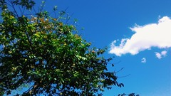 DOMINGOU (Lemon Mousse!) Tags: arvore tree sky céuazul sunnysunday domingoensolarado domingo sunday azul