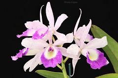 Blc. Glorious May 'H&R' (Harlz_) Tags: blcgloriousmayhr cattleya orchid hybrid