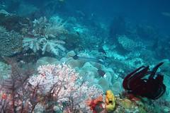 Trumpetfish (sarah.handebeaux) Tags: raja ampat indonesia blue magic underwater reef