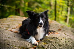 How about a wee dog photo? (ola_er) Tags: dog dogs collie outdoor nature walk walking walkies autumn nikon sigma