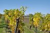Niederösterreich Weinviertel Poysbrunn_DSC1105 (reinhard_srb) Tags: niederösterreich weinviertel poysbrunn weingarten weinstock rebe wein winzer herbst laub gelb weinblätter burg falkenstein weite fernsicht sonne ruine