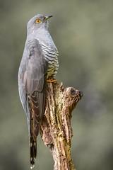 Cuckoo. (Jez Nunn) Tags: cuckoobirdnaturewildlifenikonphotographysurrey