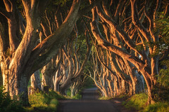 Ireland - The Dark Hedges (030mm-photography) Tags: rot irland ireland tghedarkhedges baum bäume wald forrest trees sonnenaufgang sunrise licht schatten light shadow alley allee kingsroad nordirland nord northireland landschaft landscape natur nature reise travel europe europa
