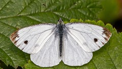 Large White (Happy snappy nature) Tags: largewhitebutterfly detail closeup nature wildlife outdoors oakengateswoods shropshire