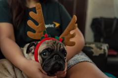 DSC_2993-5 (santi.gual) Tags: pug pugs dog dogs pet pets yongnuo 35mm f2 nikon d5000 dof christmas reindeer santa elf sleigh costume