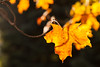 autumn leaf - in Explore (t s george) Tags: leaf color fall autumn backlit backlight afternoon warm nature canon5dmarkii