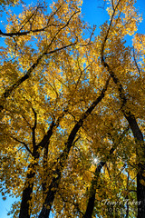 Birch trees in their fall foliage best