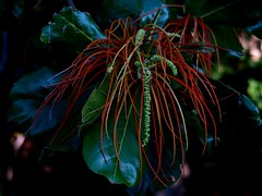 Brilliant Design (Robert Cowlishaw (Mertonian)) Tags: rainforest flower macro 4u hawaii thebigisland robertcowlishaw mertonian beauty beautiful wonder awe ineffable green red canonpowershotg7xmarkii markii g1x powershot canon brilliantdesign curvy