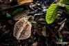 Bridal veil stinkhorn (Phallus sp.) - ESC_0174 (nickybay) Tags: malaysia borneo borneobootcamp sabah danumvalleyfieldcentre danumvalley macro bridal veil stinkhorn phallus phallaceae indusiatus phallales agaricomycetes basidiomycota
