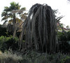 Dead Palm Tree in Garden of Abandoned Villa (timandpep) Tags: dead palm tree garden abandoned villa marbella red weevil larvae excavate holes heart sprayed monthly 29dpt32