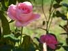 Φθινοπωρινά τριαντάφυλλα!!  P1030505 (amalia_mar) Tags: τριαντάφυλλα κήποσ φθινόπωρο ροζ λουλούδια roses garden autumn pink flowers flora 7dwf