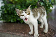 wild cat (trungtruc1602) Tags: