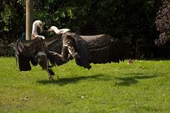 Rüppells Gier - Rüppel's vulture (Den Batter) Tags: nikon d7200 blijdorp gier vulture rüppelsgier rüppellsvulture gypsrueppellii