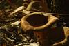 Trompettes (luc.feliziani) Tags: fungo sottobosco foglie trombetta controluce