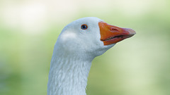 Goose portrait (2/4) : white goose with blue eyes / oie blanche aux yeux bleus (Franck Zumella) Tags: bird oiseau goose geese oie grey gris blanc blanche white grise bleu oeil blue eye swan cygnoide toulouse domestique nature animal