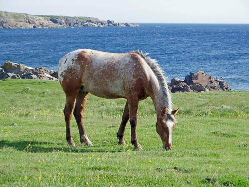 Bonavista horse 1