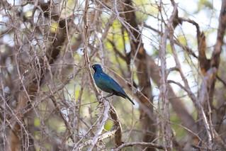 Burchell's Starling Etosha National Park Namibia