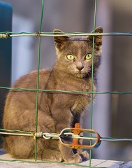 Freedom... (phonia20) Tags: chat animal nature liberté grillage cat kitten gris grey freedom dre dream tristesse expression regard look eyes pet animaldomestique pentax pentaxart