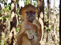 """Yellow Baboon • <a style=""""font-size:0.8em;"""" href=""""http://www.flickr.com/photos/152934089@N02/37356371270/"""" target=""""_blank"""">View on Flickr</a>"""