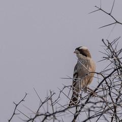 Whitebrowed Sparrow-Weaver (Matt OZW) Tags: whitebrowedsparrowweaver birds plocepassermahali namibia windhoek avisdam bird