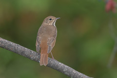 Hermit Thrush (Joe Branco) Tags: nikond500 nikon photoshopcc2017 nature wildlifephotography wildlifeatalkerfee joebrancophotography branco joe hermitthrush birds wildlife green hermit thrush