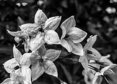 Jasmine Nightshade - HMBT (randyherring) Tags: bokeh flowers outdoor star depthoffield plant closeup macro monochrome solanumjasminoides jasminenightshade stamen afternoon green bloom yellow petals white