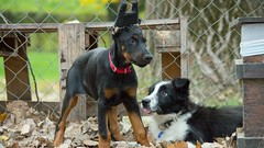 Tough Pups (zola.kovacsh) Tags: outdoor animal pet dog school pup puppy dobermann doberman pinscher border collie