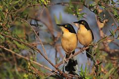 Black-capped Donacobius (Greg Lavaty Photography) Tags: blackcappeddonacobius donacobiusatricapilla brazil august motograsso pantanal photographytrip outdoors bird nature wildlife