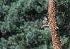 Hobby (Photo Crazy Rob) Tags: robcox thelodge 2017 bedfordshire birds d500 nature nikon rc rspb sandy wildlife