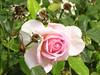 Mein Gott, du bist gerecht (amras_de) Tags: rose rosen ruža rosa ruže rozo roos arrosa ruusut rós rózsa rože rozes rozen roser róza trandafir vrtnica rossläktet gül blüte blume flor cvijet kvet blomst flower floro õis lore kukka fleur bláth virág blóm fiore flos žiedas zieds bloem blome kwiat floare ciuri flouer cvet blomma çiçek