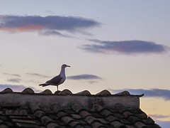 Rooftop gull (piranhabros) Tags: city sunset rooftop roof bird pigeon italy roma rome