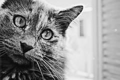 love you to the moon and back.. (sarrajaoui13) Tags: photography tunisia tunis photo blackandwhite moon minoucha nature animal pet kitty kitten cat