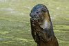 Smooth Skinned Otter (teckhengwang) Tags: sbtb satay by bay garden gbtb otter singapore nature sal70400g sony a77 a77ii a77mii a77mkii a77mk2 a77m2