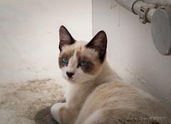 Blanquito (II) (susodediego ) Tags: blanquito streetcat gato gatto cat chat katzen em10markii mzuiko60mmf28macro vividstriking susodediego contactgroups