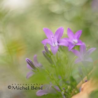 fleur bleue...?